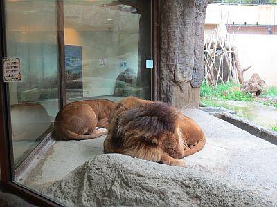 ライオンは2匹とも就寝中